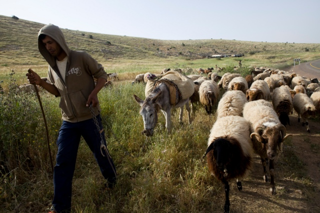 Palestinian sheep